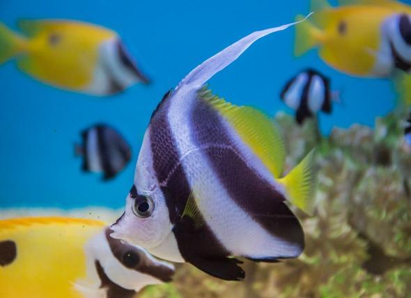 অ্যাঞ্জেল মাছ